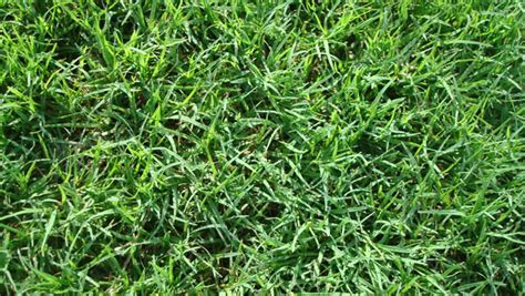 how to choose the right lawn grasses 1001 gardens