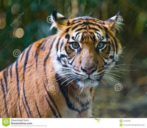 imagenes de tigres verdes tigre occhi verdi fotografia stock immagine di verde