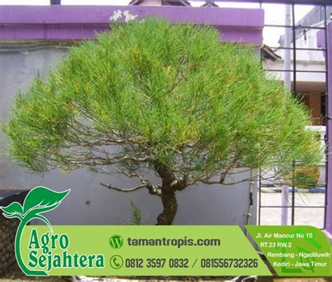 Jual Bibit Bonsai Maple jual bibit koleksi hias bonsai cemara