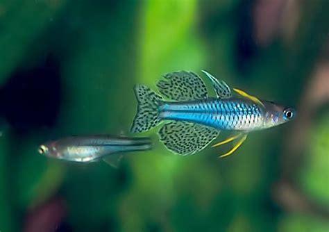 Hiasan Untuk Aquascape Rasbora Galaxy 10 gallons biotope asiatique