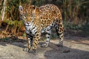 jaguar and cat free cats animals desktop wallpaper predator