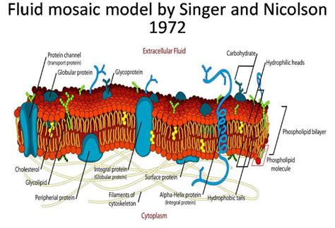 diagram of the fluid mosaic model summary of fluid mosaic model of plasma membrane by singer