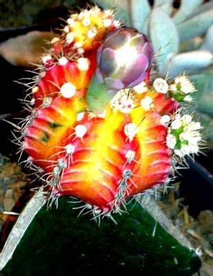 gambar bunga kaktus pelangi rainbow cactus flowers cactus and rainbows