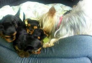 how to litter a yorkie puppy 2 x terrier litters available blackberry s litter a stunning
