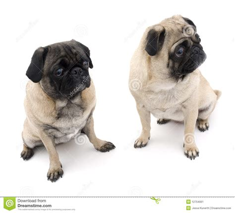 two pugs two pugs sitting stock image image 12754061