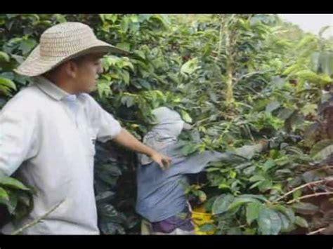 cultivo de cafe 1 youtube