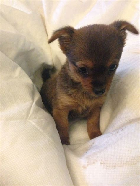 yorkie chihuahua pictures of chihuahua and yorkie mix breed breeds picture