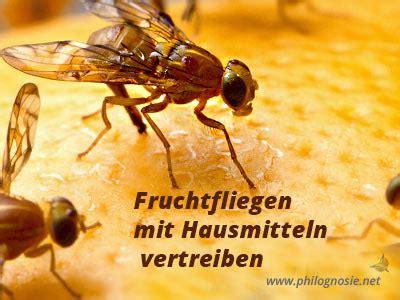 wie vertreibt fruchtfliegen fruchtfliegen obstfliegen bek 228 mpfen und loswerden