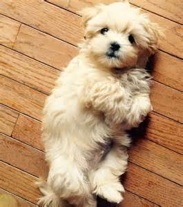 Small Dogs Free To Home Barnsley 25 Best Ideas About Havanese Puppies On