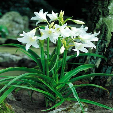 crinum powellii white 1 flower bulb buy online order yours now