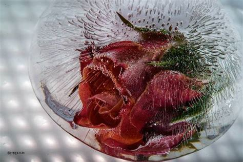 Frozen Flower Mesmerizing Photos Of Frozen Flowers By Mo Devlin