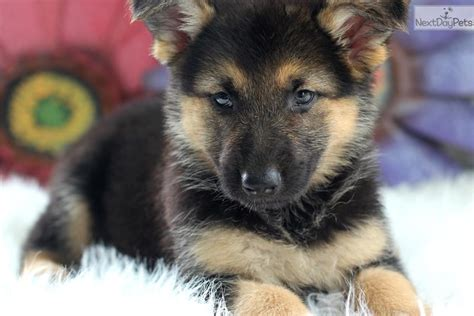 german shepherd puppies for sale in california wolf hybrid dogs puppies for sale in wisconsin html autos weblog