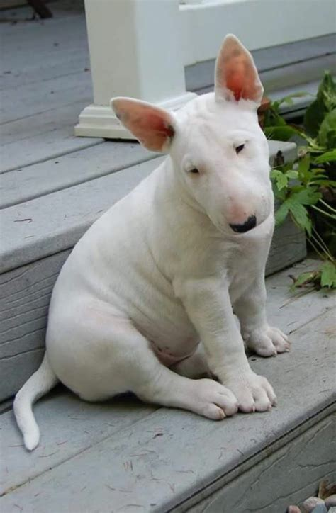 bull terrier puppies 25 best ideas about bull terriers on bull terrier puppy bull terrier