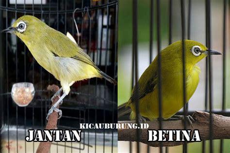 Pakan Branjangan Cepat Gacor 10 cara melatih mental kolibri di rumah dan