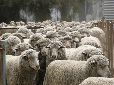 Pink Apologises To Aussie Wool Industry by Do You In Australia The Wool Industry Dates From 1797