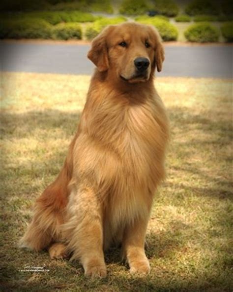 taking care of golden retriever golden retriever facts thinglink