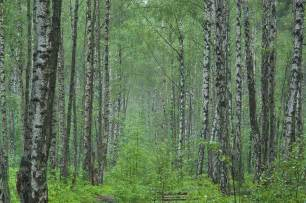 russia birch forest search in pictures