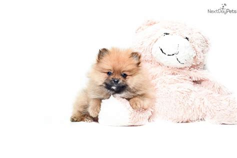 pomeranian puppies for sale columbus ohio pomeranian puppy for sale near columbus ohio d7f563a9 0291
