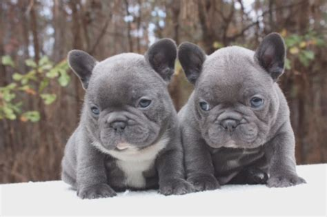 miniature blue bulldog puppies for sale 25 miniature blue bulldog puppies for sale that had