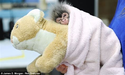 Baby spider monkey estela rejected by mother at birth clings on to
