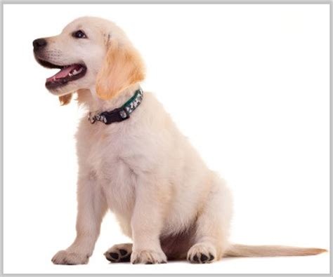 how to stop my golden retriever puppy from biting how to stop golden retriever barking 10 easy tips tested in 2016