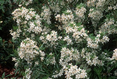 shrub with small white flowers in choisya aztec pearl plant flower stock photography