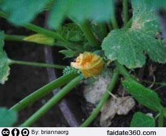 piante di zucchine in vaso coltivare zucchine in vaso