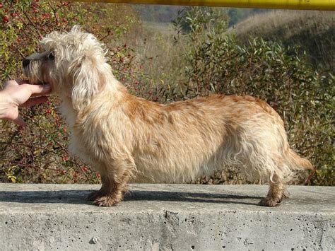 Do Parson Terrier Shed by 17 Best Images About Dandie Dinmont Terrier Shedding Dogs