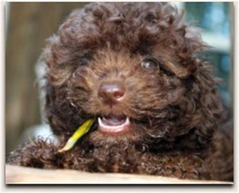 mini labradoodle puppies for sale nc australian labradoodle breeder labradoodle puppies in south carolina for sale