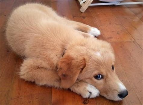 gollie puppies ollie the border collie mix puppies daily puppy breeds picture