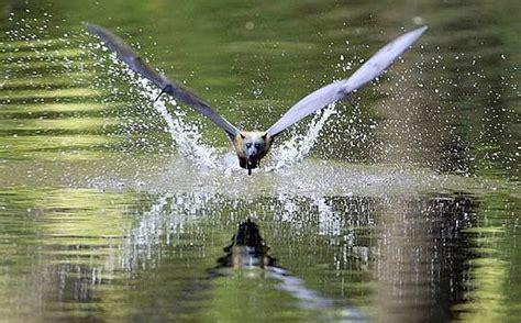 volpe volante australiana corriere della sera
