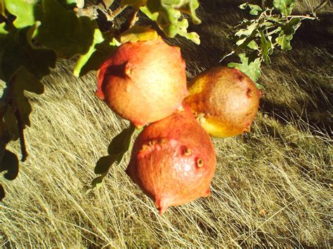 Oak Galls oak apple