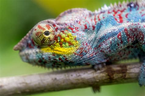 how do chameleons change color their secrets revealed