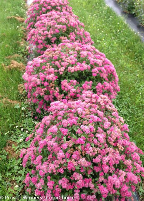 double play 174 pink spirea spiraea japonica proven winners