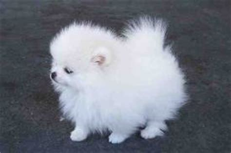 pomeranian adoption san diego sandiego teacup pomeranian puppies available now for adoption