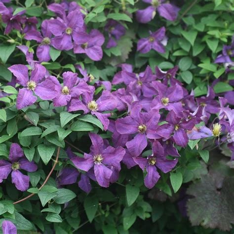 clematis viticella etoile violette 4887 buy clematis 3 clematis etoile violette