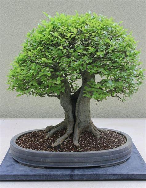 indoor bonsai kaufen 25 best ideas about bonsai baum on lila b 228 ume