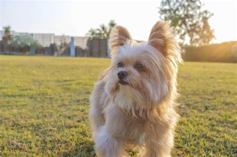 yorkie with a exclusive information about the yorkie pomeranian mix