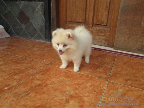 Jual Kostum Anak Lucu Kurcaci dunia anjing jual anjing pomeranian anak an pom putih betina lucu pesek
