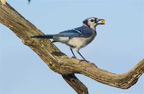 backyard birds matthews nc blue jay backyard birds the bird food store matthews nc