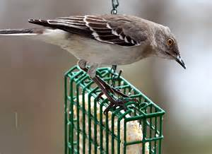 suet birds of new england