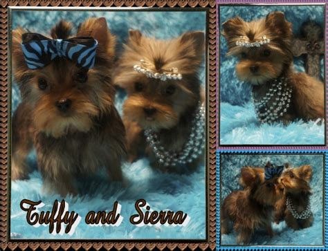 golden yorkie for sale golden yorkie puppies for sale lori s loveable pups yorkie puppy breeders yorkis for