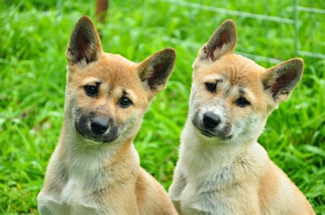 dingo puppy dingo puppies