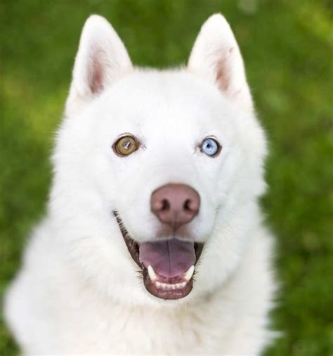 dogs with two different colored dogs with different colored heterochromia in dogs