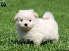 bichon frise pomeranian bichon a ranian 1000 images about bichon a ranian on puppies for sale bichon frise and