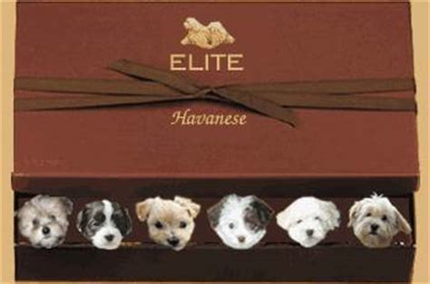havanese vancouver elite havanese breeder has puppies for sale on vancouver island in