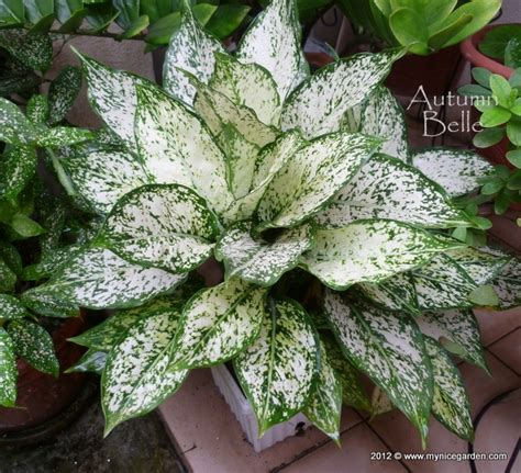 Tanaman Aglonema White Legacy 1000 images about aglaonema on valentines