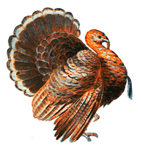 turkey pictures and turkey clip art