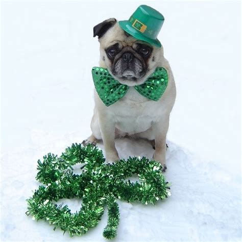 st patricks day pug pug photos of pugs images puppy st s day wallpaper and background