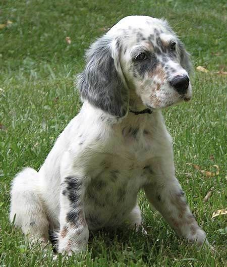 english setter dog wiki english setter dogs pinterest english setters